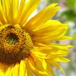 Sunflower isolated on spring background — Stock Photo