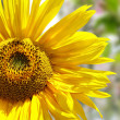 Stock Photo: Sunflower isolated on spring background