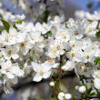 Apple tree branch with flowers - Stock Photo