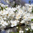 Apple tree branch with flowers — Stock Photo