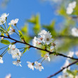 Cherry blossoms — Stock Photo #5582054