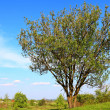 Tree on spring meadow - Stockfoto