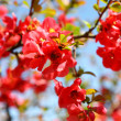 Stock Photo: Quince Bush Blossoms