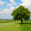 Green Tree — Stock Photo #5719861