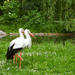 White stork and green nature - Stock Photo