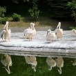 White Pelican - Pelecanus onocrotalus - Stock Photo