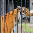 Tiger - Panthera tigris altaica - Stockfoto