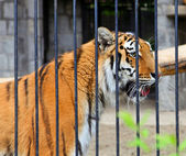 Tiger - Panthera tigris altaica — Stock Photo