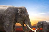 Elephants at sunset — Stock Photo