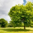 Foto Stock: Green tree