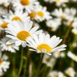 Daisies — Stock Photo #5827107
