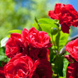 Foto Stock: Red rose