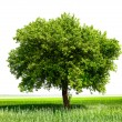 Isolated tree on green meadow - Foto de Stock  