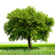 Isolated tree on green meadow - Stock Photo