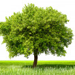 Green tree, isolated — Stock Photo