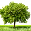 Green tree, isolated - Stock Photo