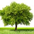 Green tree, isolated — Stock Photo