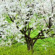 Blossoming tree — Stock Photo #6057076