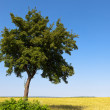 Green tree and field crops — Stock Photo #6057654