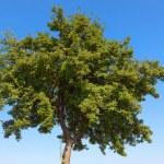 Summer tree — Stock Photo