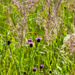 Summer meadow — Stock Photo #6059854