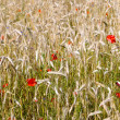 Wheat and Poppies — Stock Photo