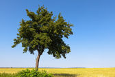 Green tree and field crops — Stock Photo