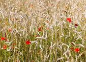 Weizen und mohn — Stockfoto