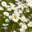 Field of wild daises — Stock Photo #6130736