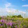 Stock Photo: Wild flowers in summer meadow