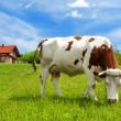 Stock Photo: Cow in the meadow and new house