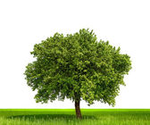 Isolated tree against a white background — Stock Photo