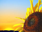 Sunflower at sunset — Stock Photo
