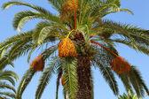 棕榈树 — 图库照片
