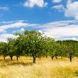 Apple orchard — Stock Photo #6735835