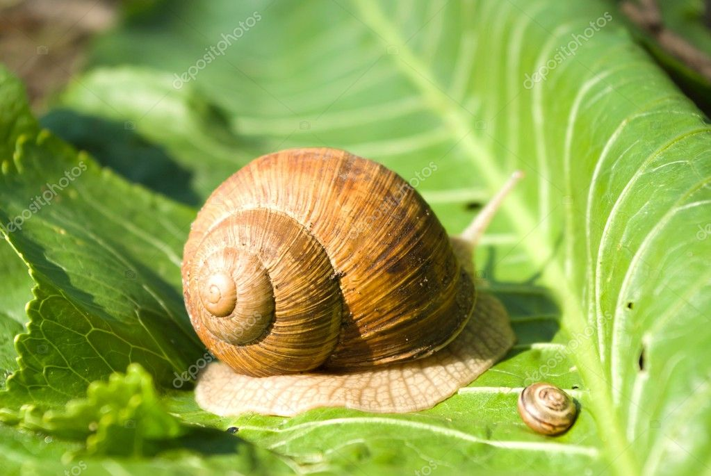 Snail is climbing up, image from nature series: snail on leaf — Stock Photo #6083868