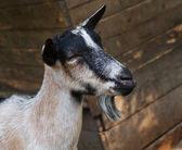 Portrait of a farm billy goat — Stock Photo
