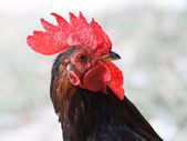 A rooster portrait close up — Stock Photo