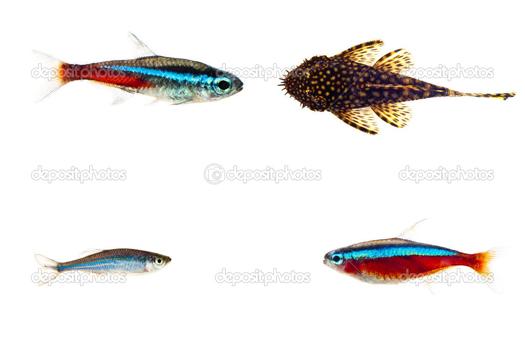 Aquarium fishes on white background — Stock Photo #5435640