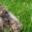 Stock Photo: Hedgehog lays on grass