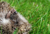 The hedgehog lays on a grass — Stock Photo
