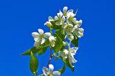 Flowering twig of apple — Stock Photo