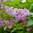 Flowering purple lilac — Stock Photo