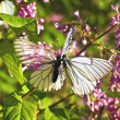 Two butterflies on a lilac — Stock Photo #6145555