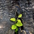 Stock Photo: Sapling from charred stump