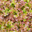 The texture of red lettuce - Stock Photo