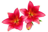 Red lilies — Stock Photo