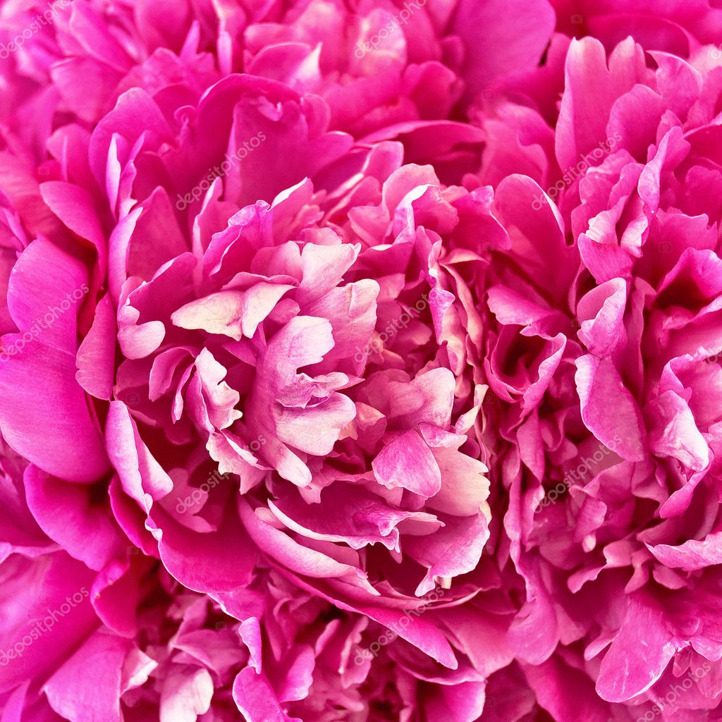 The texture of the petals of pink peonies — Stock Photo #6145729