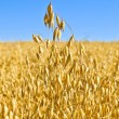 Royalty-Free Stock Photo: Stem oats field