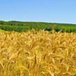 Stock Photo: Wheat field with forest